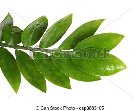 Stock Images of Zamioculcas branch with green leaves isolated on.