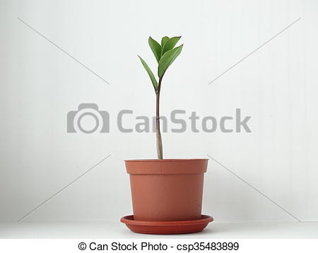 Stock Photographs of Zamioculcas , dollar tree, cultivation plant.