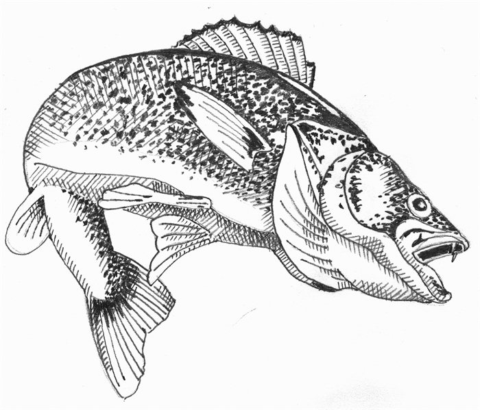 Walleye Clipart.