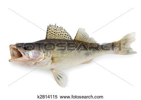 Stock Image of Walleye or Zander k2814115.