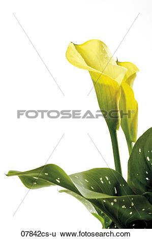 Stock Images of Yellow calla, zantedeschia aethiopica 07842cs.