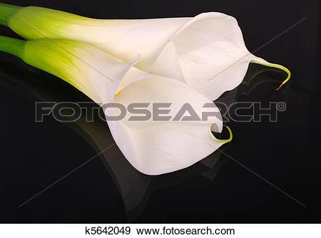 Stock Photograph of Two White Arum Lilies (lat. Zantedeschia.