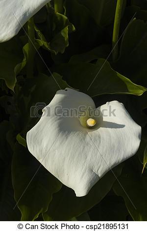 Stock Photos of Zantedeschia aethiopica calla or arum lily, flower.