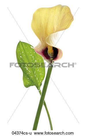 Stock Images of Yellow calla lily (zantedeschia aethiopica), close.