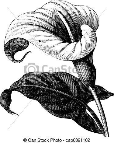 Vector Illustration of Zantedeschia aethiopica or Richardia.