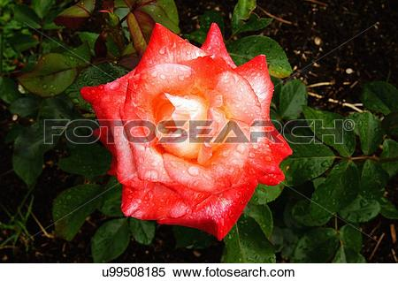 Stock Image of rose gemini hybrid tea zary aars 2000 lake.