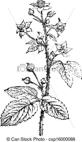 Vector of Bramble or Blackberry, vintage engraving..