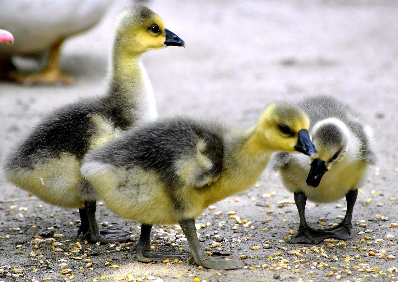 Chicks,fluffy,yellow,black,plumage.