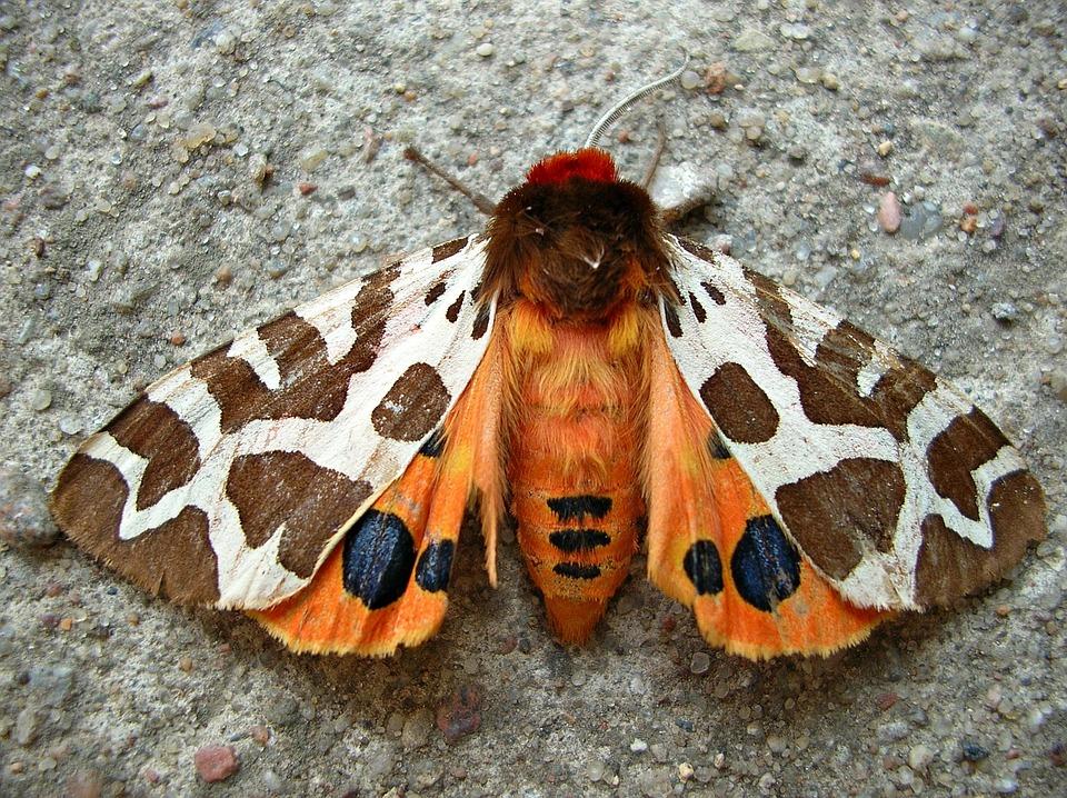호랑, 나비.