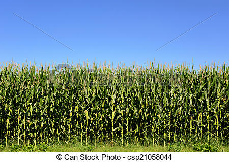Stock Photo of Agricultural field of corn plants, Zea Mays.