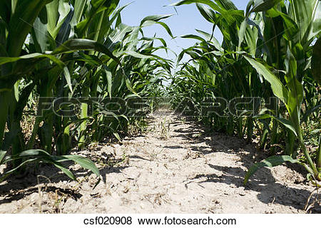 Pictures of Maizefield with row of maize plants (Zea mays.