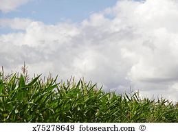 Zea mays Stock Photos and Images. 1,593 zea mays pictures and.