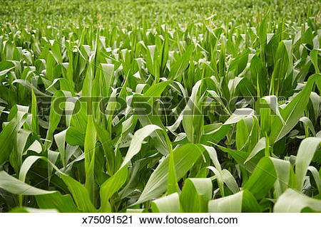 Stock Photography of Maize (Zea mays) field, full frame x75091521.