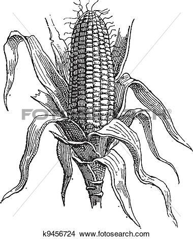 Clipart of Corn or Zea mays, vintage engraving k9456724.