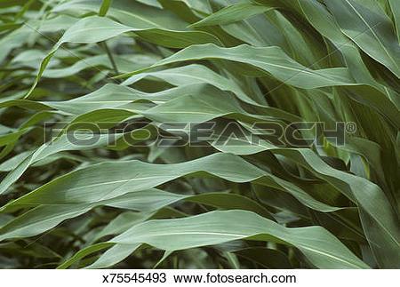Stock Photo of Corn leaves (Zea mays) x75545493.