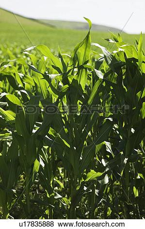 Pictures of Maize (Zea mays) u17835888.
