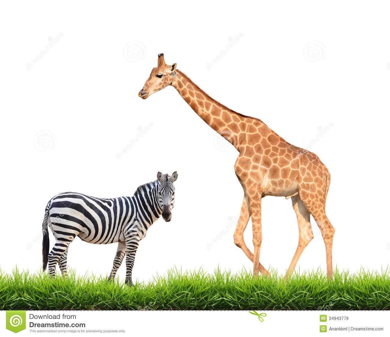 Zebra And Giraffe Clipart.