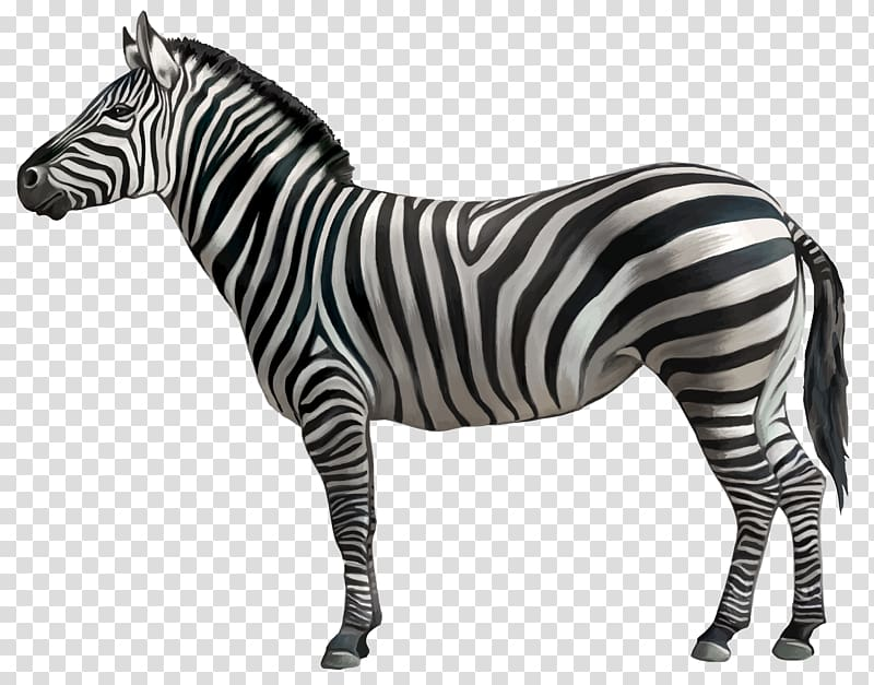 Zebra , Zebra , black and white zebra transparent background.