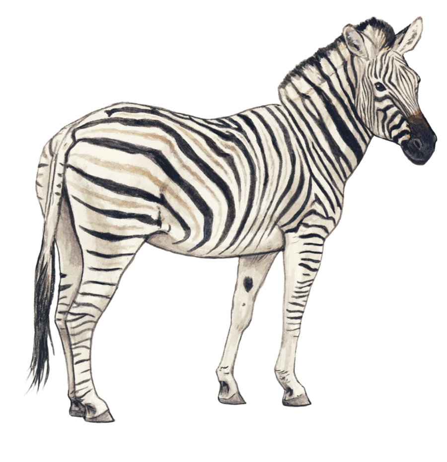 Zebra PNG Images Transparent Free Download.