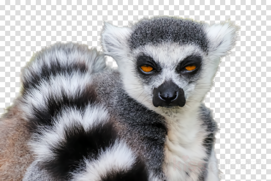 lemur terrestrial animal wildlife fur tail clipart.