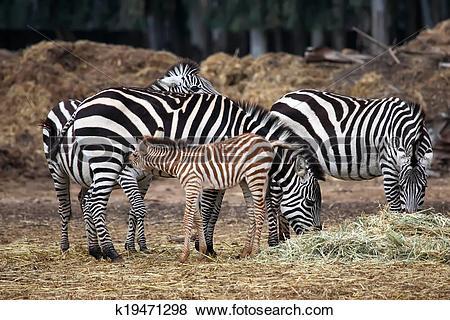 Stock Illustration of The Zebra family k19471298.
