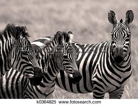 Stock Image of Zebra family k0364825.