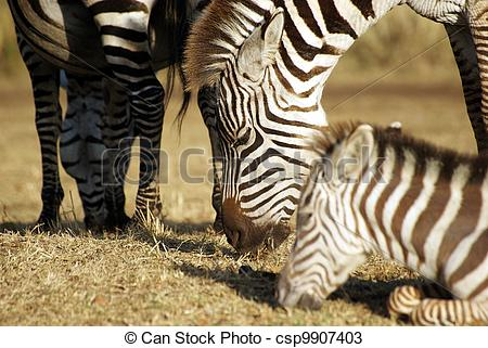 Stock Photos of Zebra family grazing.