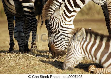 Stock Photos of Zebra family grazing.