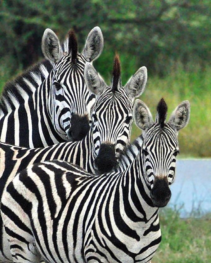 Baby zebra cartoon.