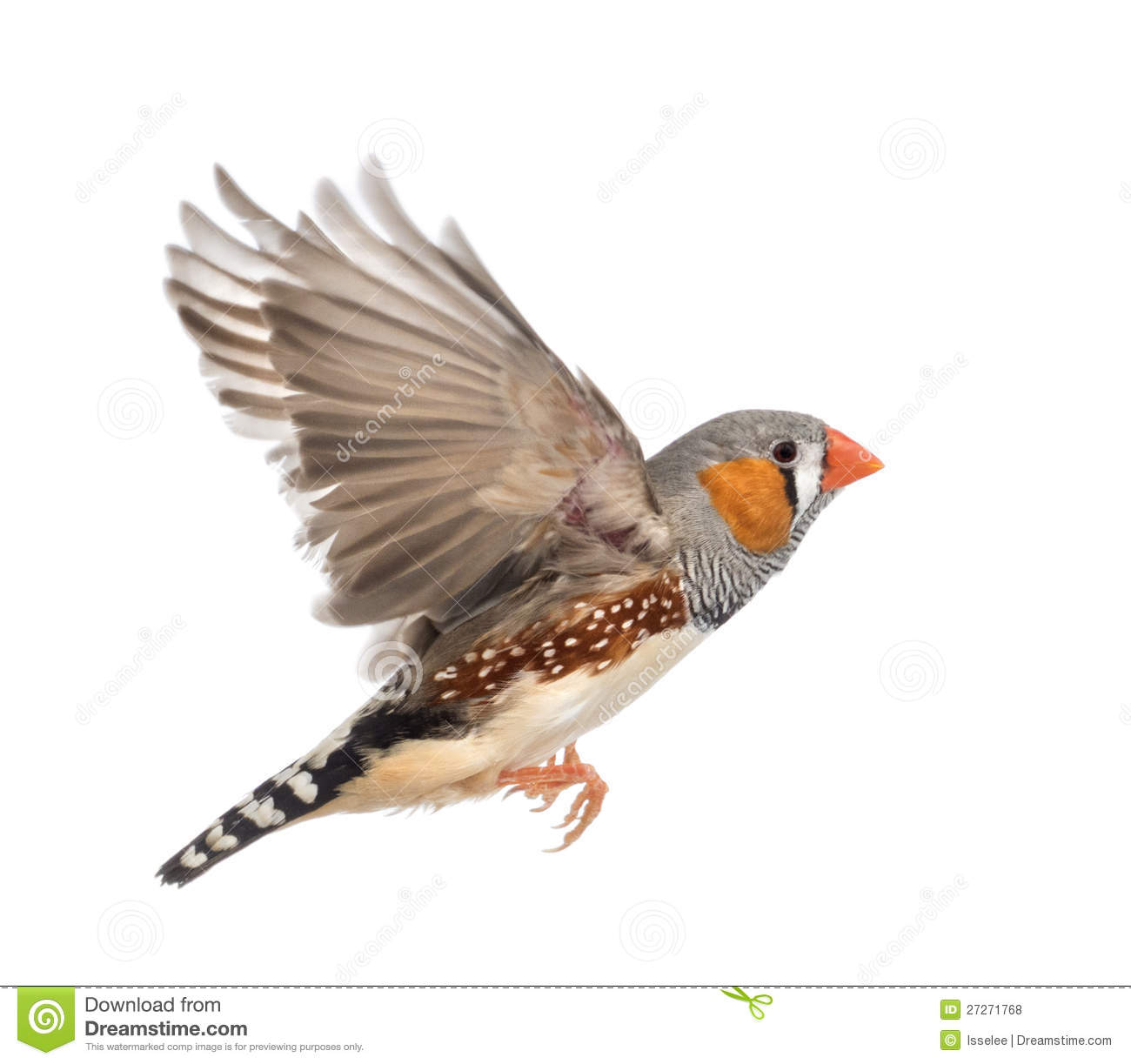 Composition Of Zebra Finch Flying Stock Image.