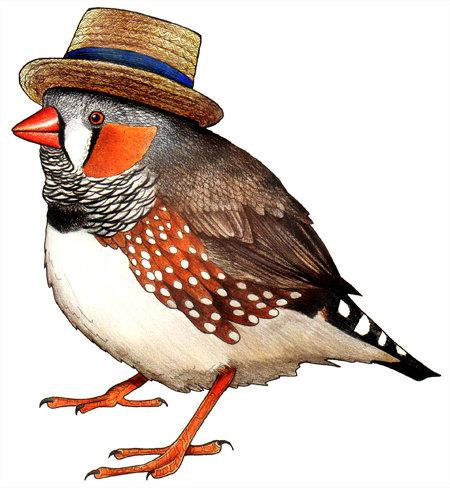 Zebra Finch in a Boater Hat.