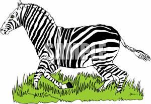A_Zebra_Running_Through_the_Grass_091204.