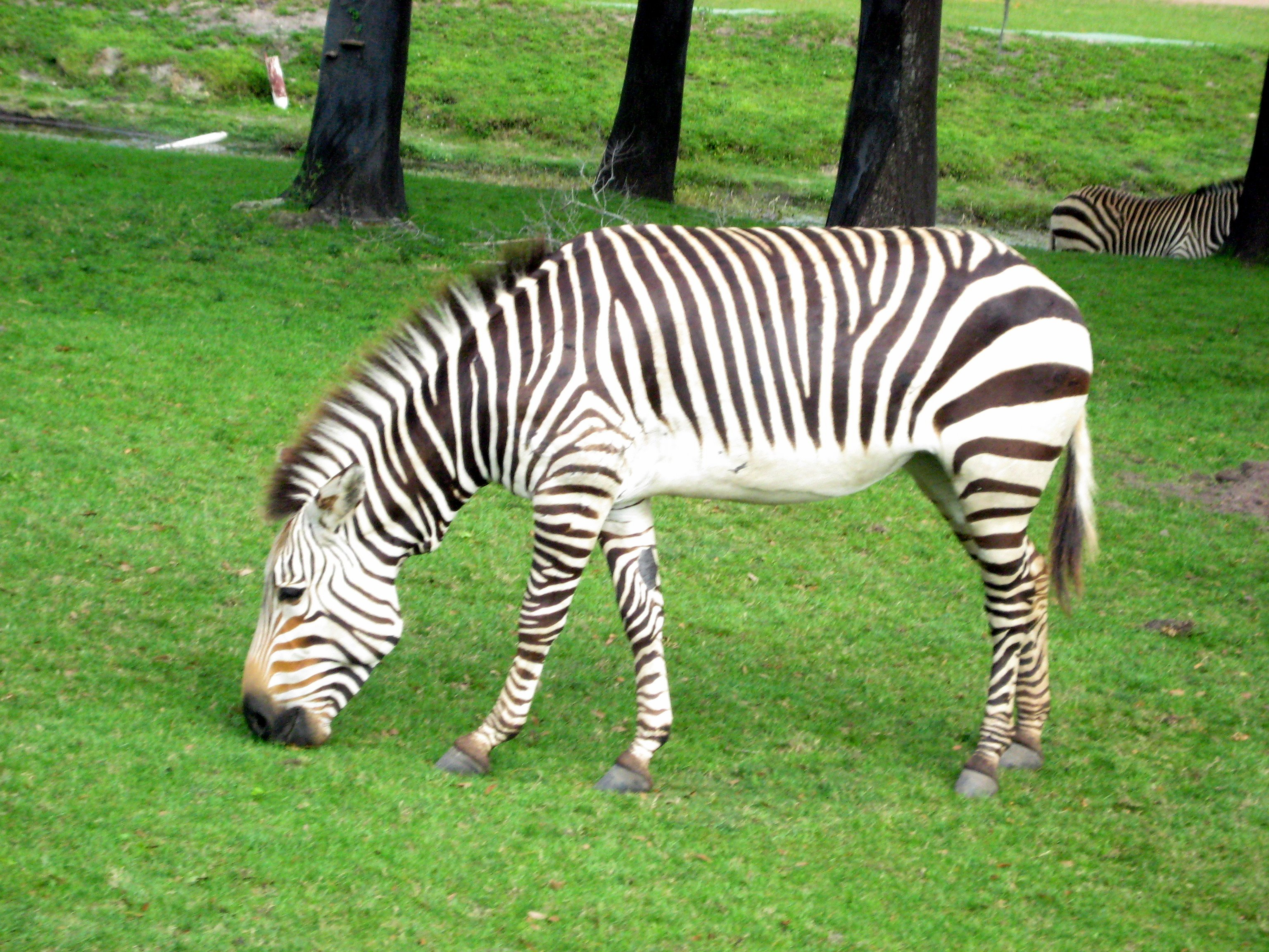 Zebra Eating Grass.