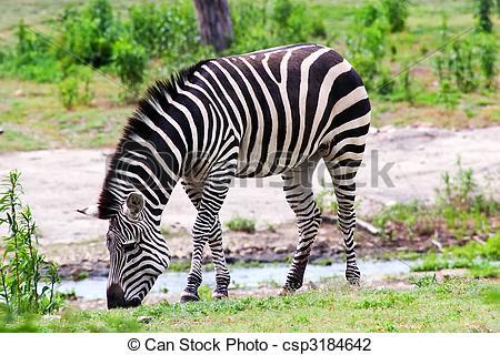 Stock Photo of Zebra Eating.