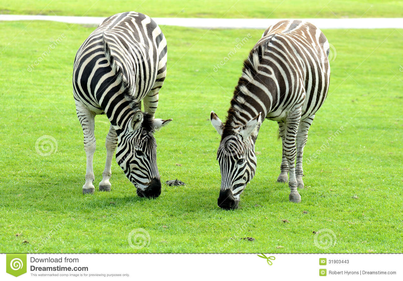 Zebra Eating Grass Clipart.
