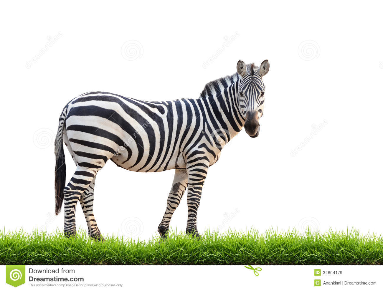 Zebra With Green Grass Isolated Royalty Free Stock Images.