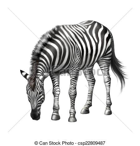 Stock Illustration of zebra bent down eating grass . Illustration.
