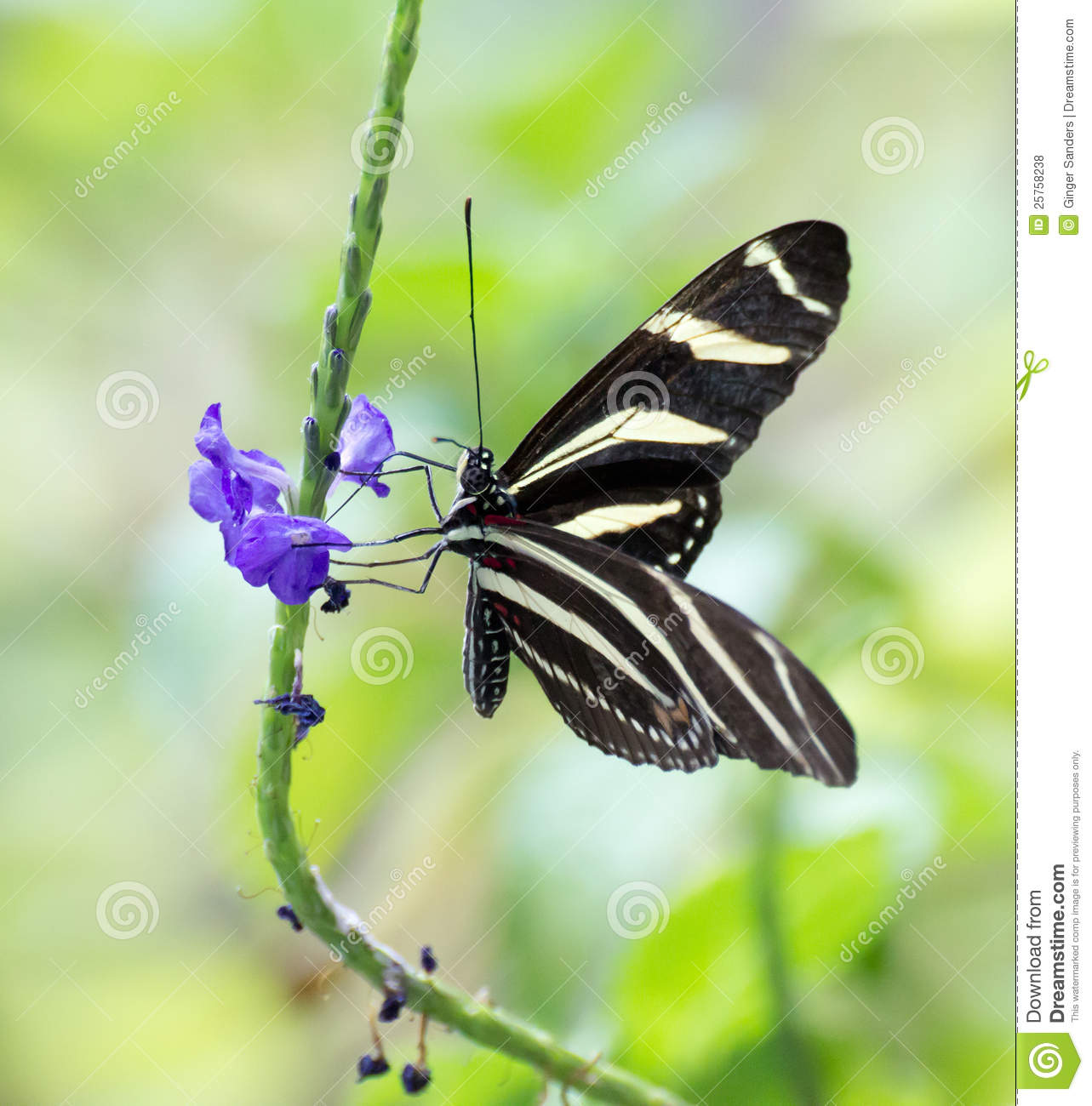 Free zebra longwing butterfly images clipart.