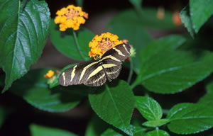 Zebra Longwing Butterfly.