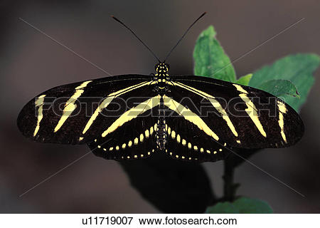 Picture of Zebra Longwing Butterfly u11719007.