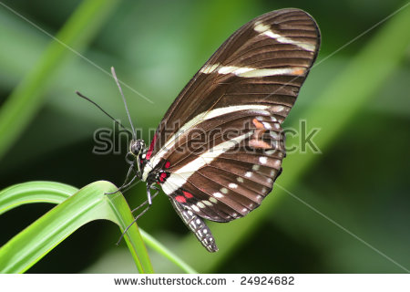 Beautiful Longwing Zebra Butterfly Stock Photos, Royalty.