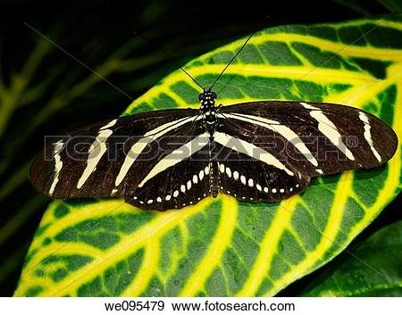 Stock Photograph of Zebra Longwing butterfly on a Sanchezia.