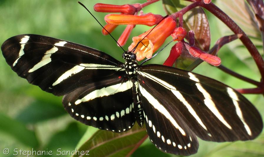 Zebra Heliconian Butterflies.