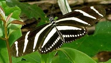 Zebra Longwing Butterfly State Butterfly.