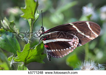 Pictures of Zebra longwing Butterfly.