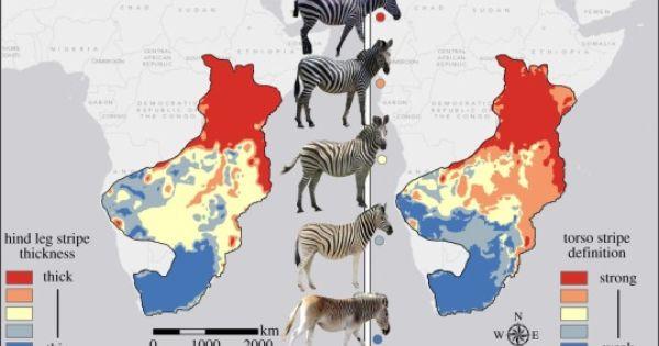 Maptitude: Zebras\' stripe thickness and definition correlate.