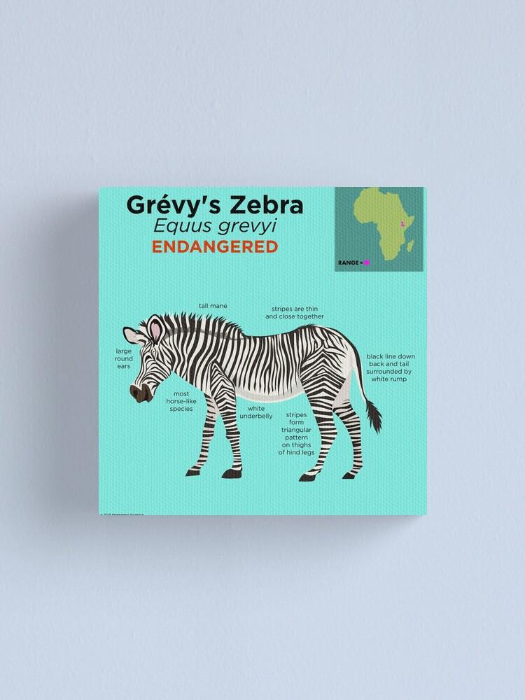 Grévy\'s Zebra.