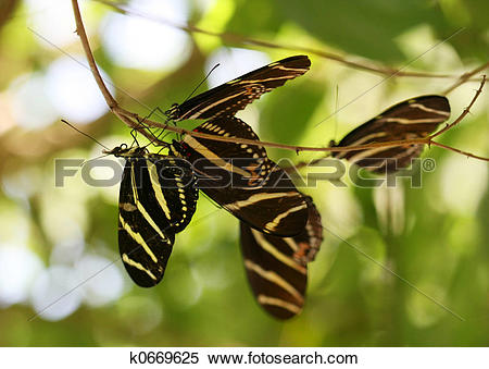 Stock Image of Zebra Longwing butterfly k0669625.