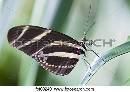 Stock Photography of Zebra Longwing Butterfly, (Heliconius.