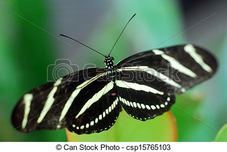 Stock Photography of black white Zebra Longwing Butterfly insect.